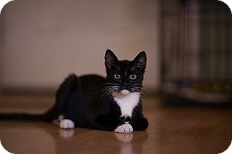 Domestic Shorthair Kitten for adoption in Tampa, Florida - Zorro