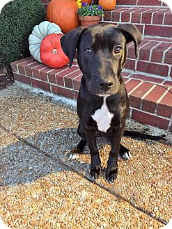 Labrador Retriever Mix Puppy for adoption in Knoxville, Tennessee - HARPER