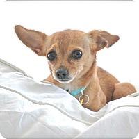 Adopt A Pet :: Piccolo - Brattleboro, VT