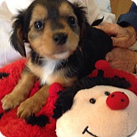Adopt A Pet :: Princess BL - Pinellas Park, FL
