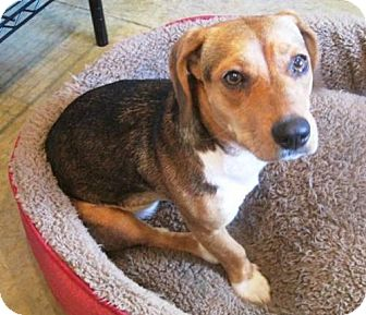 Beagle Mix Dog for adoption in Dover, Tennessee - Whinnie