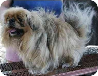 Pekingese Dog for adoption in Morriston, Florida - MISSY