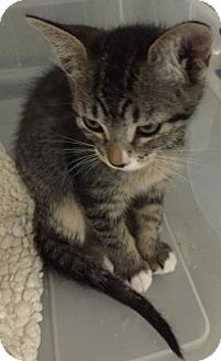 Domestic Shorthair Kitten for adoption in Fountain Hills, Arizona - JERSEY