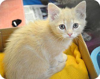 Domestic Shorthair Kitten for adoption in Evansville, Indiana - Baileywick