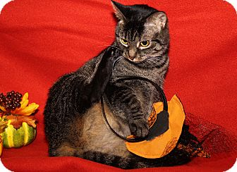 Domestic Shorthair Cat for adoption in Marietta, Ohio - Ivy (Spayed) - Update