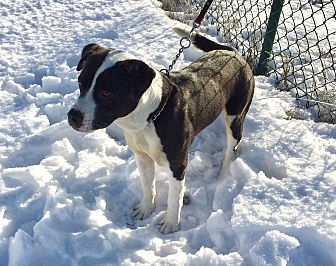 American Bulldog/Boxer Mix Dog for adoption in Mead, Washington - Kauze