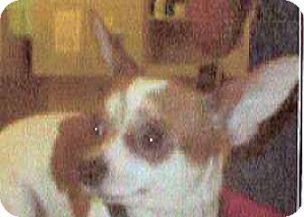 Chihuahua Mix Dog for adoption in Spokane, Washington - Goose