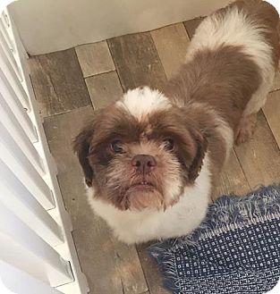 Shih Tzu Dog for adoption in Venice, Florida - 152