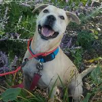 Labrador Retriever Mix Dog for adoption in West Allis, Wisconsin - Sheba