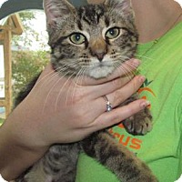 Domestic Mediumhair/Domestic Shorthair Mix Cat for adoption in Inverness, Florida - LUIS
