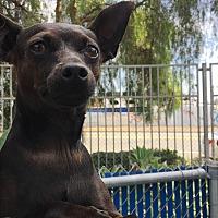 Adopt A Pet :: Biscuit - Chula Vista, CA