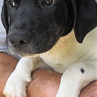 Adopt A Pet :: Checkers - Germantown, MD