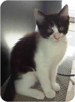 Calico Kitten for adoption in El Cajon, California - tom