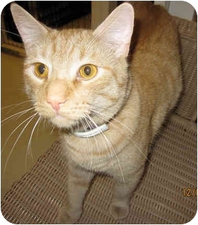 Domestic Shorthair Cat for adoption in Catasauqua, Pennsylvania - Lucky