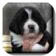 Basset Hound Mix Puppy for adoption in Marietta, Georgia - Cisco