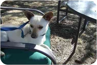 Terrier (Unknown Type, Small)/Chihuahua Mix Dog for adoption in Fair Oaks Ranch, Texas - Cowboy