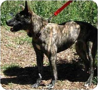 Pit Bull Terrier Mix Dog for adoption in Scottsdale, Arizona - Lissette (Flagstaff)