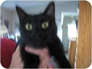 Domestic Shorthair Cat for adoption in Fallon, Nevada - Ruth Ann