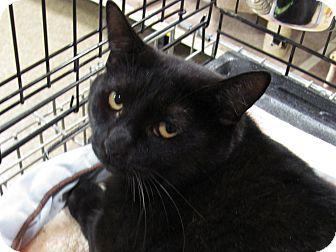 Domestic Shorthair Cat for adoption in Diamond Bar, California - EBONY