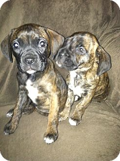 Boxer/Feist Mix Puppy for adoption in Baltimore, Maryland - Gabby