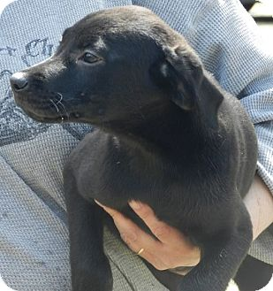 Labrador Retriever Mix Puppy for adoption in Clinton, Maine - Lab Mix Puppies