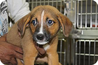Labrador Retriever Mix Puppy for adoption in Waldorf, Maryland - Leah