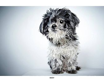 Shih Tzu Dog for adoption in New York, New York - Buddy
