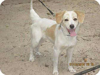 Spaniel (Unknown Type) Mix Puppy for adoption in Kimberton, Pennsylvania - Daisy Jane