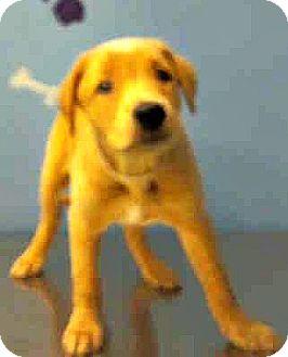 Golden Retriever Mix Puppy for adoption in Boulder, Colorado - Cody-ADOPTION PENDING