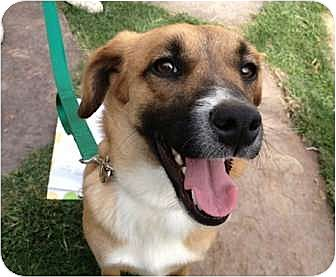 Shepherd (Unknown Type) Mix Puppy for adoption in Sunnyvale, California - Abby