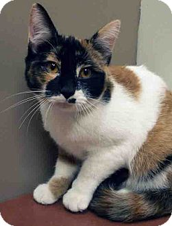 Calico Cat for adoption in Hinsdale, Illinois - ADOPTED!!!   Dazzle