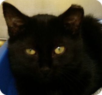 Domestic Shorthair Kitten for adoption in Adrian, Michigan - Magic