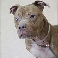 Mastiff Mix Dog for adoption in Brookhaven, New York - Cliff
