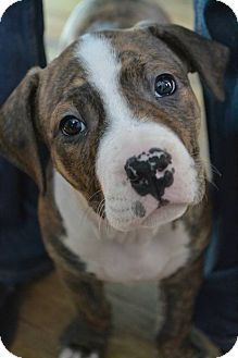 Pit Bull Terrier Mix Puppy for adoption in Toledo, Ohio - Chesney