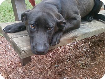 Labrador Retriever Mix Puppy for adoption in Oak Ridge, New Jersey - Scarlett