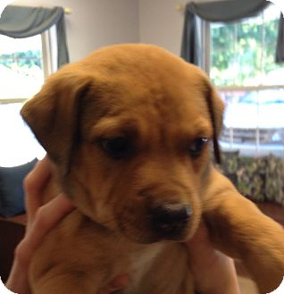 Retriever (Unknown Type) Mix Puppy for adoption in Columbia, South Carolina - Becky