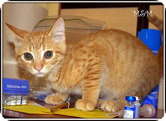 Domestic Shorthair Kitten for adoption in Yuba City, California - M&M