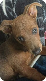 Dachshund/Beagle Mix Puppy for adoption in temecula, California - GUS