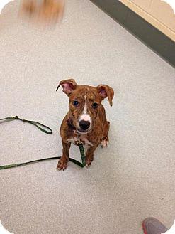 Pit Bull Terrier Puppy for adoption in Framingham, Massachusetts - Hadley