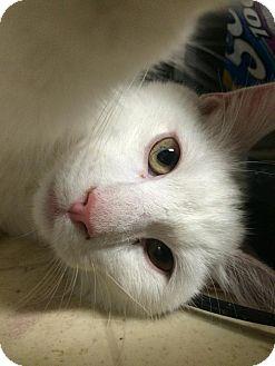 Domestic Shorthair Kitten for adoption in Bensalem, Pennsylvania - Leroy
