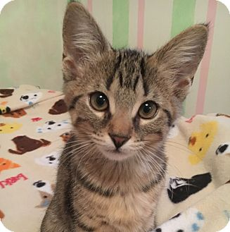 Domestic Shorthair Kitten for adoption in Lombard, Illinois - Peanut