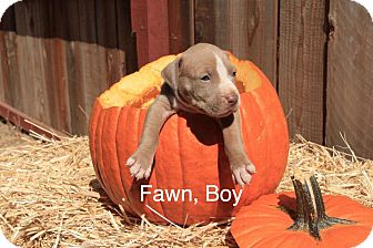 American Pit Bull Terrier Mix Puppy for adoption in Sonoma, California - Fawn