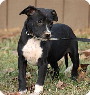 Chihuahua Mix Puppy for adoption in Harrisonburg, Virginia - Olan