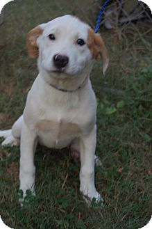 Boxer/Australian Shepherd Mix Puppy for adoption in Newark, Delaware - Winken