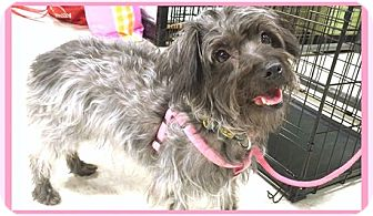 Cairn Terrier/Terrier (Unknown Type, Small) Mix Dog for adoption in Phoenix, Arizona - Mona