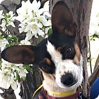 Adopt A Pet :: Jazzy-ADOPTION PENDING - Boulder, CO