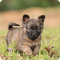 Adopt A Pet :: Clyde - Dacula, GA