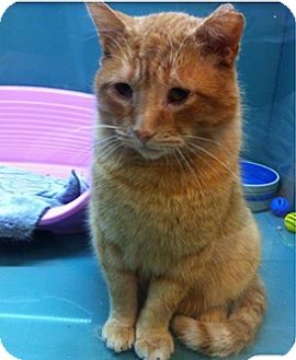 Domestic Shorthair Cat for adoption in THORNHILL, Ontario - RUSTY