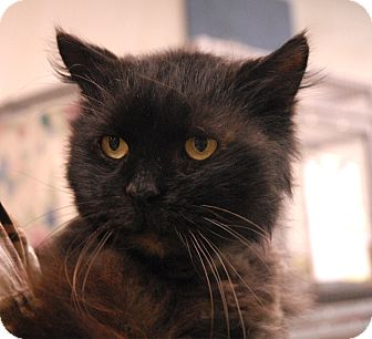 Domestic Longhair Cat for adoption in Winchendon, Massachusetts - Busta