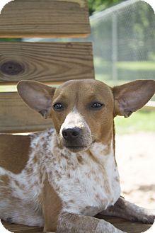 Dachshund/Jack Russell Terrier Mix Dog for adoption in Stillwater, Oklahoma - Cornelia